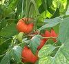 ВНИИССОК: оазис помидоров впустыне разрухи