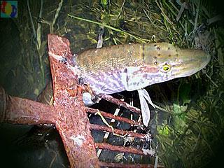 ловля рыбы руками браконьерство или нет