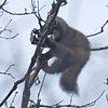 Впарке Одинцово куница попала вкапкан браконьеров