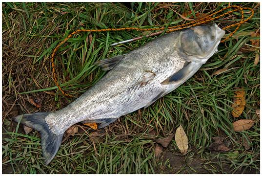 рыбалка на толстолобика в краснодарском крае