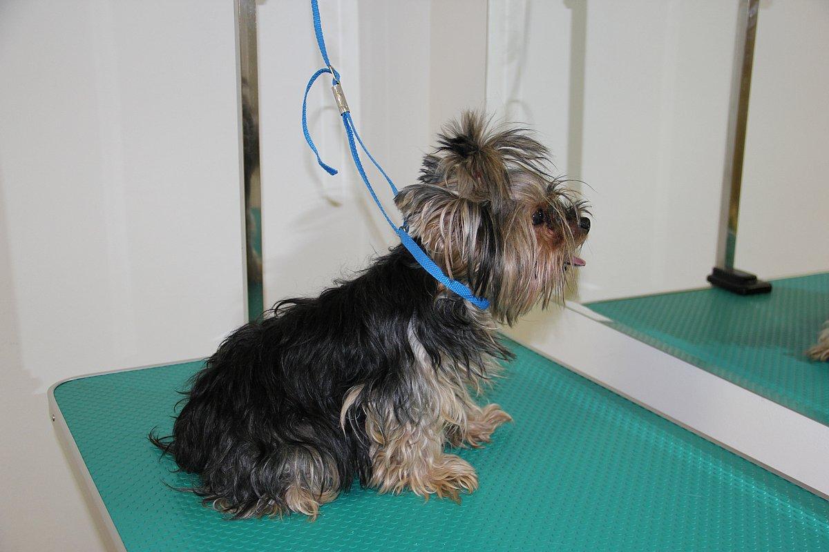 схема стрижки ши тцу щенок