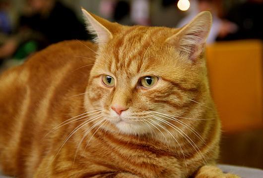 Кот бобтейл рыжий фото