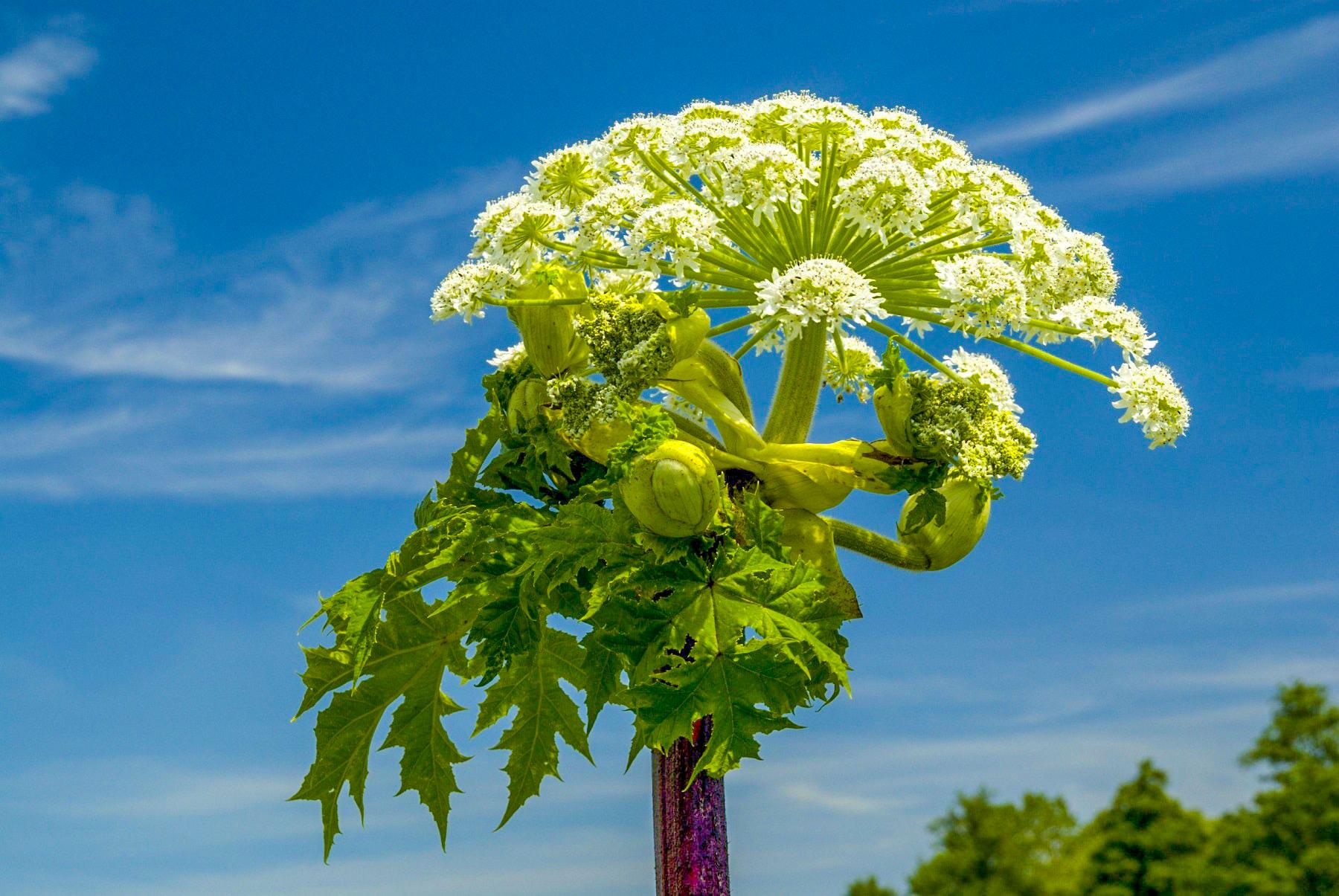 подойдут как выглядит борщевик растение фото надеюсь, что