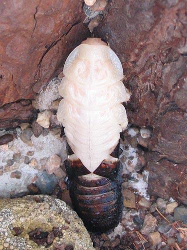 Это линька.  Когда таракан растёт, то шкурка становится мала и лопается.